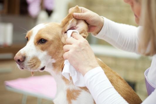 dog getting ear cleaned