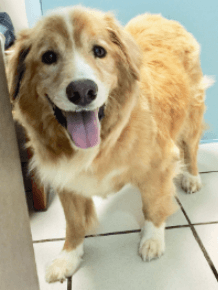 A Golden Retriever from Adopt A Golden Birmingham