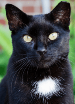 a black cat from Helping Hands for Animals