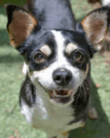 Small rescue dog from Humane Society of Ventura County