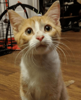Orange and white cat from BARC Humane Society