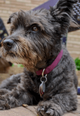 A small grey dog from People & Pets Together