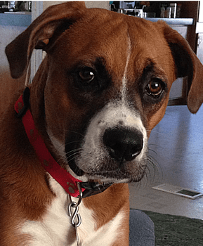 A Boxer rescue from Boxer Aid and Rescue Coalition