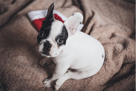 French-Bulldog-Santa