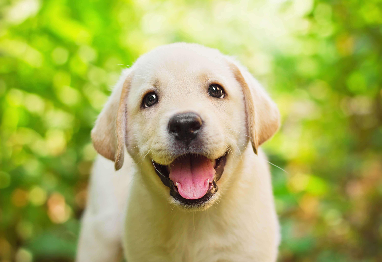Happy-labrador-puppy