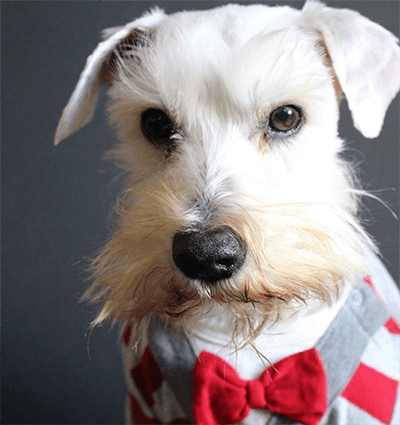 A white Schnauzer from Schnauzer Rescue of Louisiana