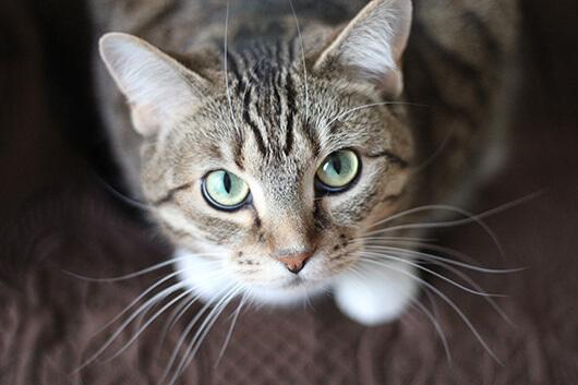 beautiful-whiskery-kitty