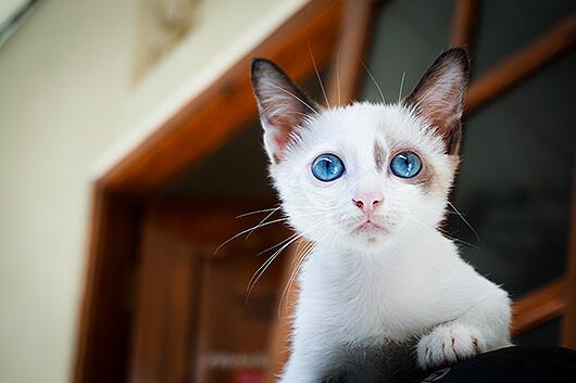 blue-eyed-kitty