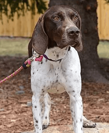 A dog from All Points West German Shorthaired Pointer Rescue