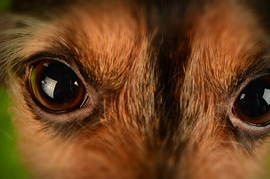 close-up-dogs-eyes