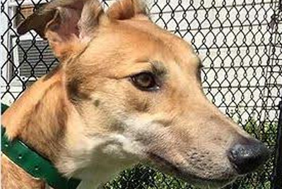 a grehound rescue from Greyhound Pets of Greater Orlando