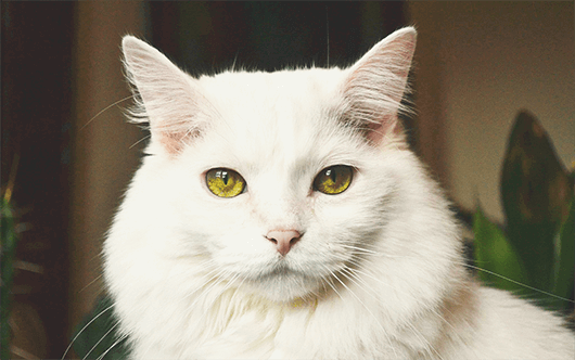 majestic-white-kitty