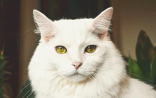 majestic-white-kitty
