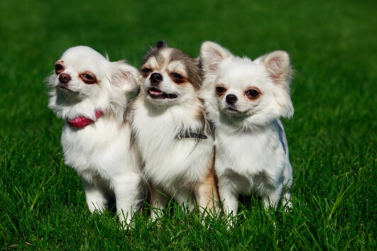 three-white-dogs