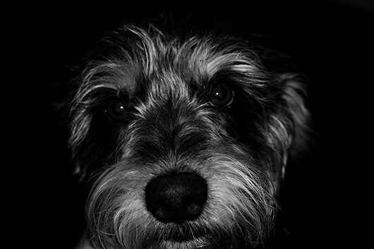 wolfhound-close-up